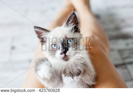 Cut kitten lay on the feet of the owner Small cat  with blue eyes at home