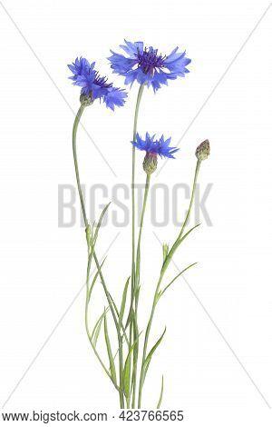 Beautiful Light Blue Cornflowers Isolated On White
