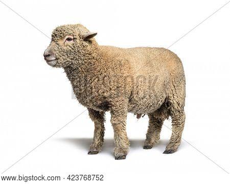 Southdown sheep, Babydoll, smiling sheep