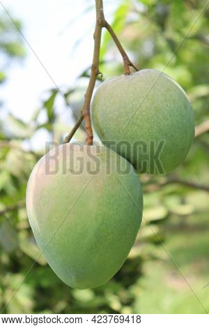 Green Raw Mango On Tree In The Firm