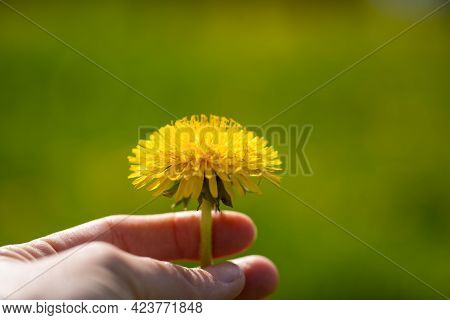 Close Up Of Yellow Dandelion Flower In Female Hand On Background Of Green Grass On Meadow On Sunny D