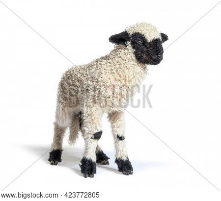 Valais Blacknose, German: Walliser Schwarznasenschaf, is a breed of domestic sheep originating in the Valais - 3 weeks old
