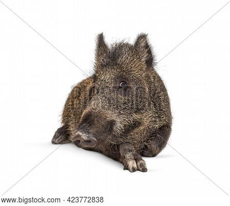 Wild boar lying down, isolated on white