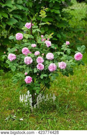Bush With Flowers Of Classification Roses Color Pink Grows In Garden In Summer.