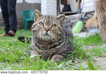 Portrait Of A Gray Home Striped Cat. The Cat Lies On The Grass In The Street And Looks Directly Into