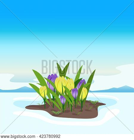 Yellow And Purple Crocuses In The Snow Against The Blue Sky. The First Spring Flowers Bloom From The