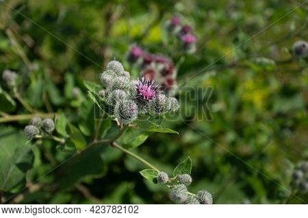 Herbaceous Plant Of Burdock (arctium) Grow On Sunny Meadow In Summertime Close Up.