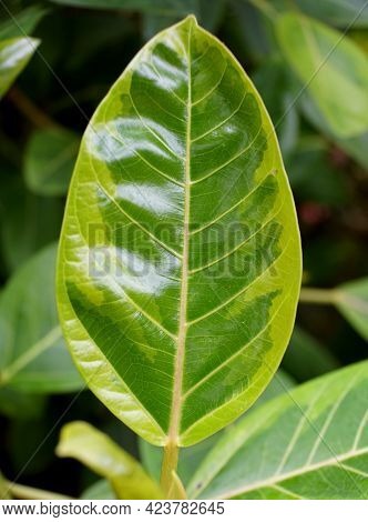 Beautiful Leaf Of Council Tree 'variegata', With Scientific Name Ficus Altissima
