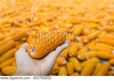 Beautiful Ripe Yellow Corn. Corn And Grain Handling Or Harvesting Terminal. Corn Can Be Used For Foo