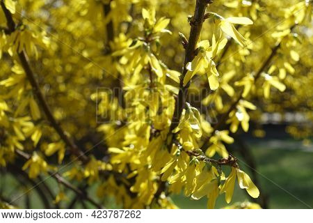 Florescence Of Forsythia Bush In Mid March