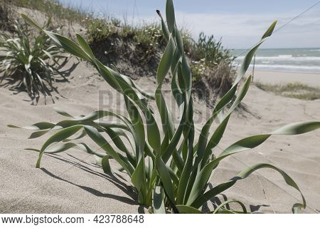 Agave Wild Succulent Plant Along Italian Coast At Capocotta