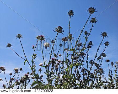 Mediterranean Milk Thistle Field, Flowered Summer Concept