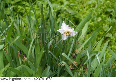 1 White Flower Of Narcissus In The Leafage In May
