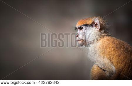 Baby Patas monkey portrait in sun light