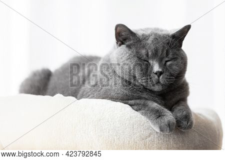 British cat lying relaxed smiling. British shorthair breed portrait
