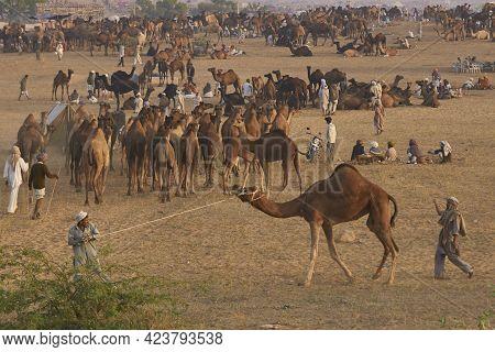 Pushkar, Rajasthan, India - November 5, 2008: Camels Crowd The Annual Pushkar Fair In Rajasthan, Ind