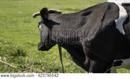 Black And White Cow On A Summer Pasture Eats A Grass.
