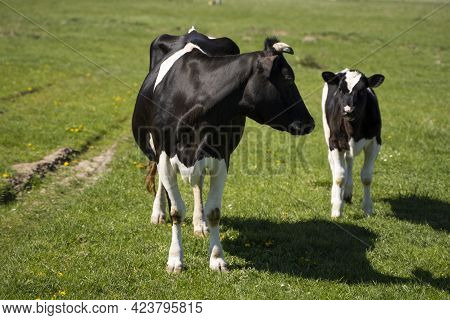 Black And White Cow And Calf On A Summer Pasture Eats A Grass.