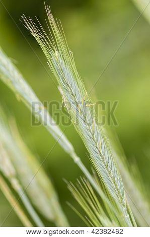 Rye (secale Cereale) Wheat Spike