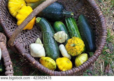 Zucchini In Wicker Basket. Harvesting Zucchini. Organic Food Concept.