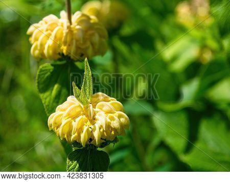 Syrian Fire Herb (phlomis Russeliana)