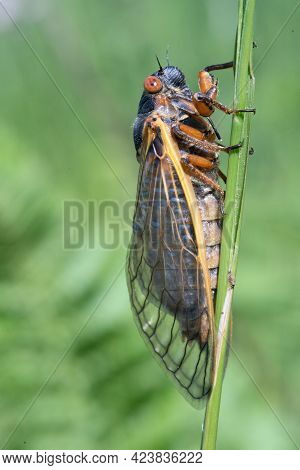 A Seventeen Year Locust On A Blade Of Grass.