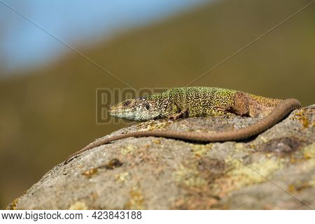 Inactive European Green Lizard With Long Tail Sunbathing In Summer Nature.