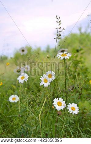 Blooming Field Of Chamomile. Beautiful Background Of Chamomile On A Field In Summer On A Sunny Day.