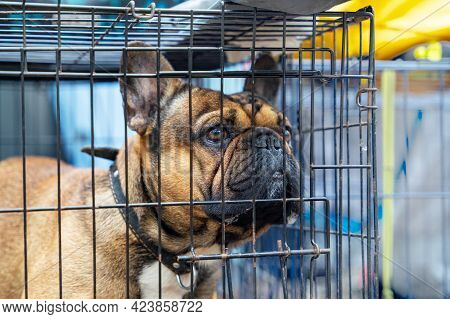 Sad French Bulldog In Cage. Cage Gives Your New Dog Sense Of Comfort And Security. Safety Of House A
