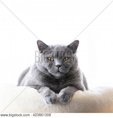 British cat lying portrait. British shorthair breed