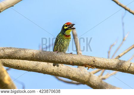 Coppersmith Barbet In Nature Fly And Find Food.