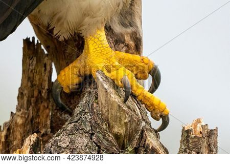 Close-up Of Two Yellow Legs Of A Stellers Sea Eagle. Sharp Nails Grab Into A Stump. Dangerous Claws