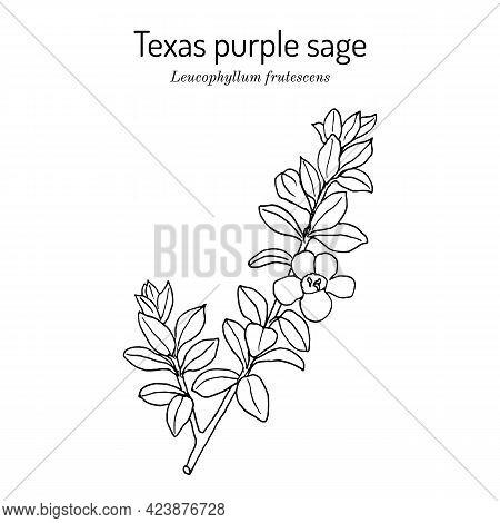 Purple Sage Leucophyllum Frutescens , Official State Native Shrub Of Texas. Vector Hand Drawn Illust