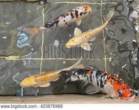 Fancy Carp Fish Or Koi Swimming In Pool. Japanese Carp Swim
