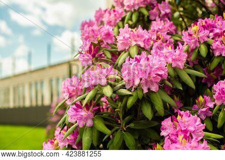Beautiful Blooming Pink Azalea - Flowering Shrubs In The Genus Rhododendron. Pink, Summer Flower Bac