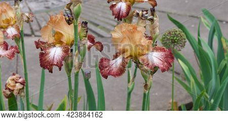 Unusual Two Tone Irises In Contrasting Shades Of Brown And Dark Orange