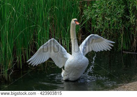 White Swan Spreads Its Wings At The Shore Of A Pond.