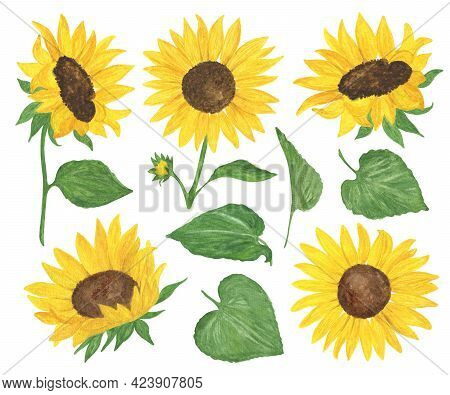 Yellow Sunflowers And Leaves Set Watercolor Hand Drawn Floral Illustration, Summer Field Agricultura