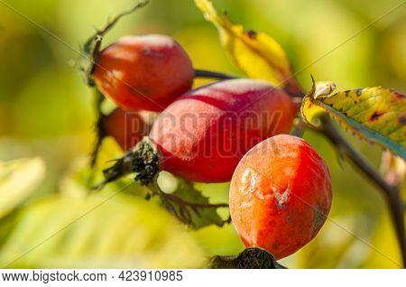 Rosehip Berries Close-up. Dog-rose Fruit. Rose Hips In Nature, Rose Hips On A Branch