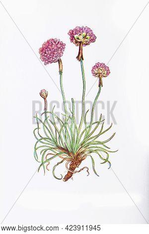 Photograph Of A Vintage Botanical Thrift Plant Illustration