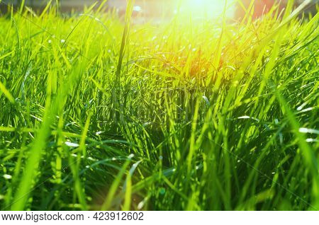 Green grass background, summer grass, summer grass lawn, summer grass background. fresh green grass on the lawn lit by shining sunbeams. Grass landscape