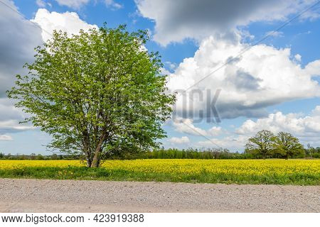 Low Angle View Of Big Dogberry Tree Between Gravel Road And Yellow Rapeseed Field, At Background Two