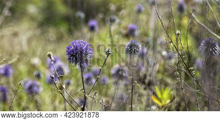 Purple Flowers Ball-headed Mordovnik Closeup On A Blurred Background