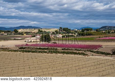 Peach Blossom In Cieza, Mirador El Olmico. Photography Of A Blossoming Of Peach Trees In Cieza In Th
