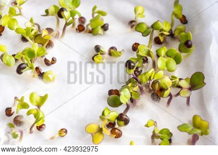 Close-up Of Chinese Kale Seeds That Have Germinated On Moist Water Soaked Kitchen Towel