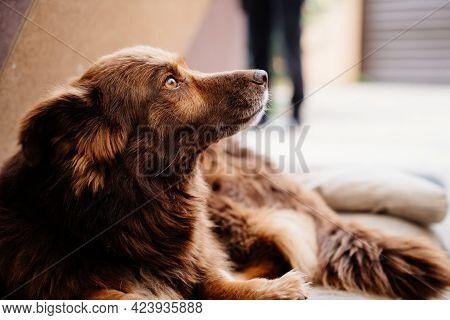 Brown Beardless Dog. Shelter For Homeless Animals.