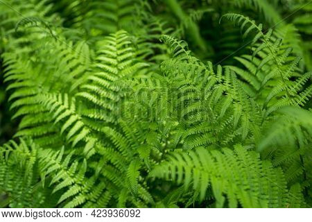 Beautyful Ferns Leaves, Green Foliage, Natural Floral Fern Background In Sunlight. Botany Concept. F