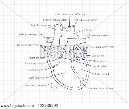 Human Heart Close-up With Descriptions. Cardiology Concept. Educational Diagram With Human Heart Cro