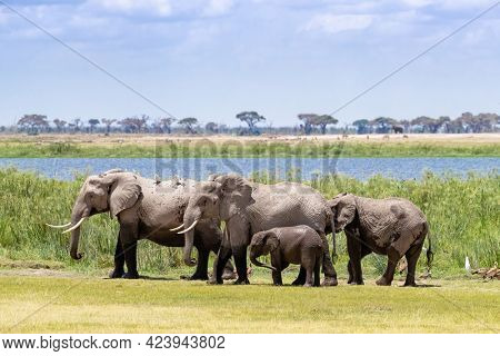 A family of African elephants, Loxodonta africana, with mother, calf and older siblings. The group have been cooling in the mud and cool water of the Amboseli marshes. Amboseli National Park, Kenya.