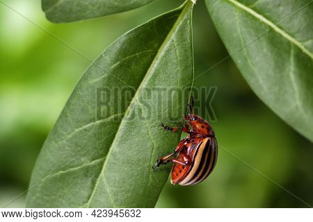 Colorado Potato Beetle On Green Leaf Against Blurred Background, Closeup